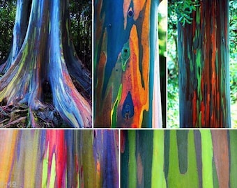 5 Rainbow Tree Seeds-1303