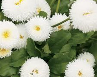 25 Giant White Daisy Seeds-1135A