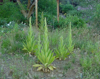 Mullein Herb - Great - Common - Wild Kansas Seed - 50 Seeds