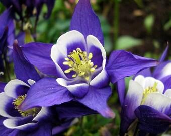 Heirloom 300 Seeds Columbine Giant Star Aquilegia Christy Blue Flower Perennials S5010
