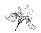 Iris flower, original drawing. Floral. Black White