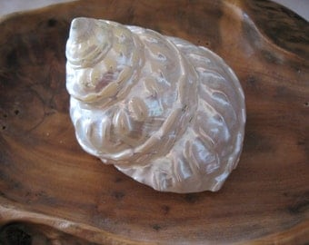 Beach Decor - Wavy Top Polished Turbo Shell -  Turbo Shell - Seashell Supply - Seashells - Shells - Natural Shells - Beach Wedding