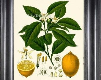 BOTANICAL PRINT Kohler 8x10 Botanical Art Print 32 Beautiful French Lemon Fruit Tree Nature Garden Plant to Frame Interior Design