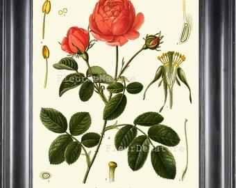 BOTANICAL PRINT Kohler 8x10 Botanical Art Print 122 Beautiful Rose French Country Nature Spring Simmer Garden Plant to Frame Interior Design