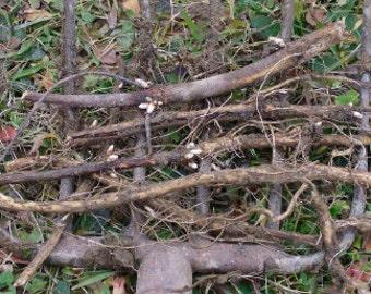 Maine-grown Centennial hops rhizome