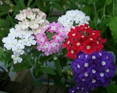 Verbena Mix Seeds, Tons of Colors, Add Color to Your Garden, Attracts Butterflies, 25 Seeds