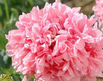 Heirloom Rose Peony Poppy, Pink Colored, Large Flowered Heads, 25 Seeds
