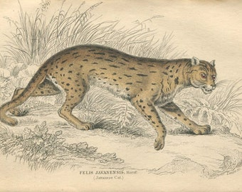 Antique Hand Colored Steel Engraved 1800's Book Plate Print Jardine Natural History Library Vol XVI Mammalia Lions Tigers Javanese Cat