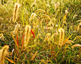 Foxtail Photography, Gold Autumn Grass, Foxtail Art, Fall Golden Green Wall Art, Field Grass Decor, Autumn Color, Nature Fine Art 8x10 Print