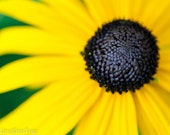 Rudbeckia hirta, black-eyed Susan print - 8 x 10 nature photography
