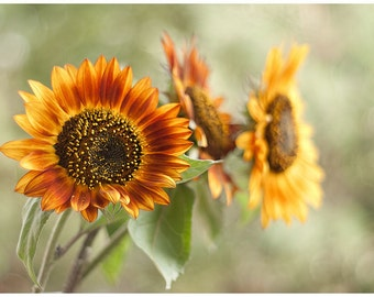 Flower photography nature photography color photography floral photo print wall art amber yellow fine art print sunflower wall decor