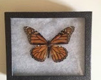 Taxidermy - Monarch Butterfly Pinned and Mounted in Riker Mount