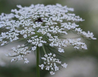 Photo Print - Queen Ann's Lace Flower Photo