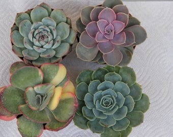 "4 LARGE SUCCULENT PLANTS 4"" containers"