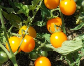 Sungold Tomato, Orange cherry tomato, sundried tomato, organic seeds, tomato seeds