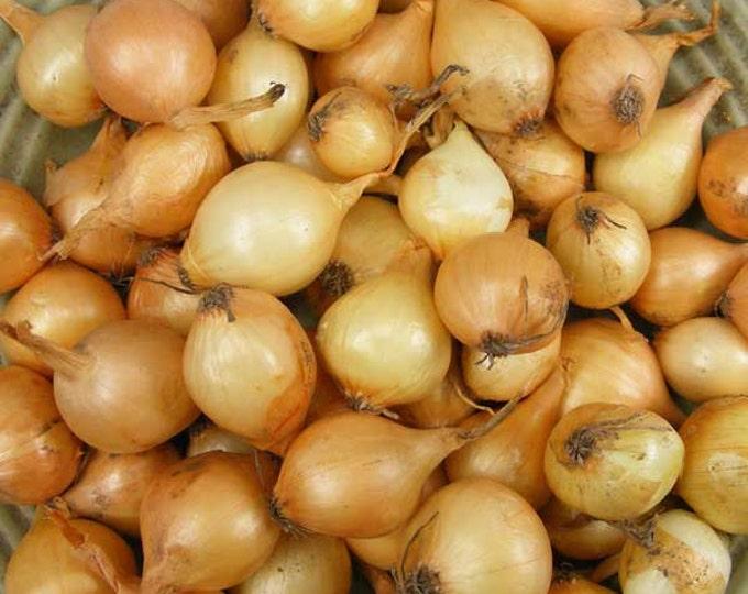 Yellow Onion Sets Organic | Stuttgarter Onion Bulbs 1 Pound Shipping Now