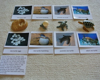 Montessori Sea Turtle Life Cycle 5 Parts Cards with Miniatures