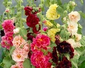 """0.5g (approx. 50)  hollyhock """"Summer Carnival Mix"""" seeds ALTHEA ROSEA double blooms, mixed color, old fashioned flower; Best before 12.2017!"""