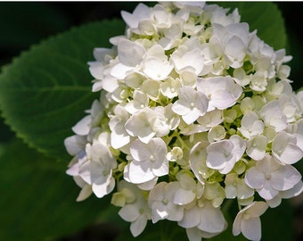 Hydrangea close up white and chartreuse,  fine art flower photography nature photograph, wall art, print home decor