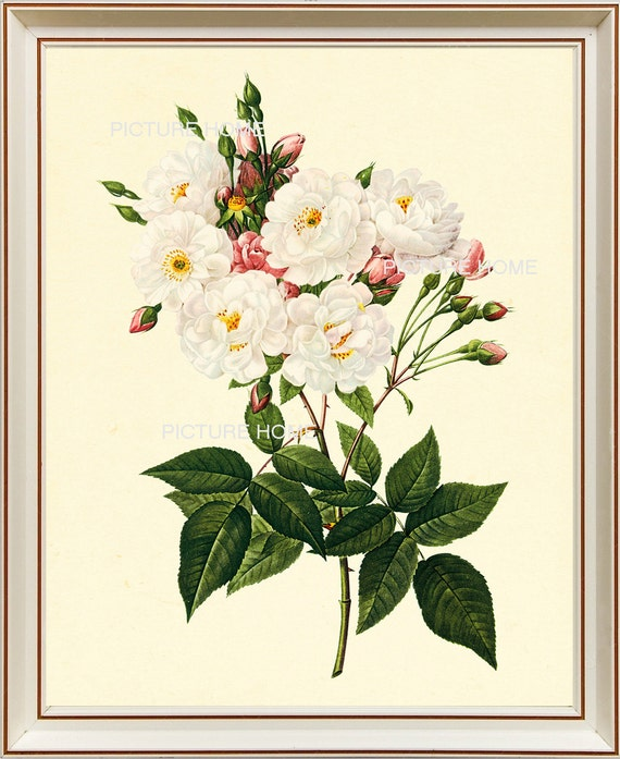 White Roses Botanical Print 131 Beautiful 8x10 Antique Redoute