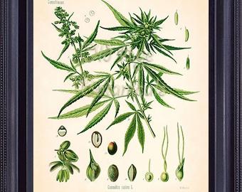 KOHLER Botanical Print 8x10 Art Print Vintage Antique Plate CANNABIS Common Hemp Green Leaves Plant Home Decor BF0721