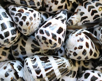 Polished Hebrew Cone Seashells (5 pcs.) - Conus Ebraeus