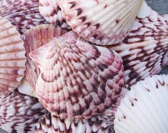 "Calico Scallop Seashells (10 pcs.) - (1.5-2"") - Argopecten Gibbus"