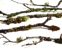 5 Branches and Twigs Covered in Natural Lichen and Moss for Bonsai Rustic Crafts Terrariums & Wreaths, Rustic Easter Seasonal Woodland Decor