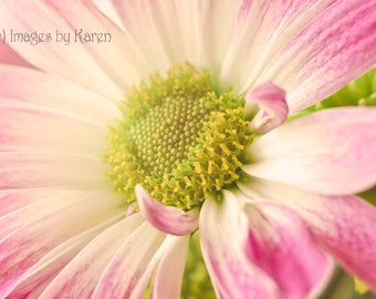 Flower Photography, Fine Art Photography - Pink Daisy Macro