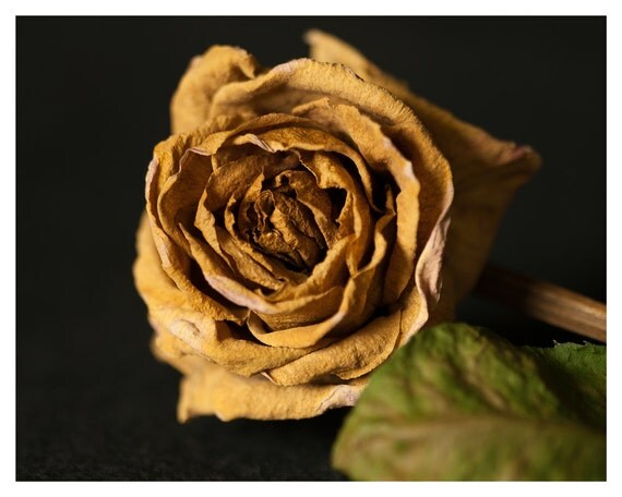 Art, Photography, Home Decor, fine art photograph, 5x7, 8x10, Wall Decor, Withered Rose