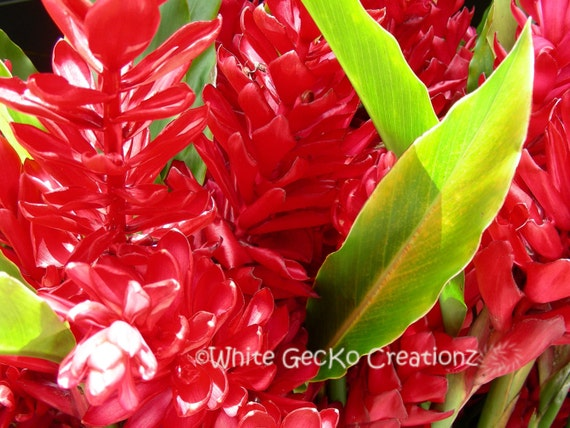 Tropical Flowers, Photo, Ginger