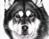 Alaskan Malamute Portrait - Kunstdruck 30x40 cm, tolle Hunde Zeichnung