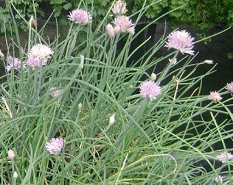 Chives Live herb plant. (onion flavor)