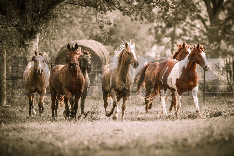 Canvas Photo Art: Horse Pack Running by BoldAngles on Etsy