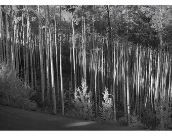 Aspens in Beaver Creek #11: A Black and White Photograph 11x15