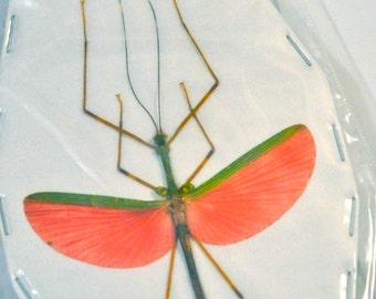 Watermelon Stick Insect, Marmessoidea rosea