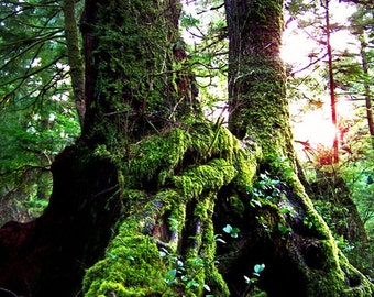 Mossy Tree Roots Woods Evergreen Fine Art Photography Oregon Coast Oswald State Park Greeting Card ENCHANTED FOREST by Spinning Castle