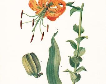 1919 Botany Print - Lilium Henryi - Tiger Lily - Vintage Antique Flower Art Illustration Book Plate for Framing