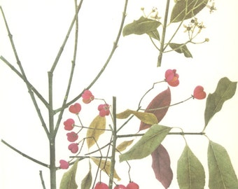 Vintage Tree Print, Spindle Tree, Botanical Book Plate Hardwood 12, Nature, Landscape, Frameable Art, 1977, Raymond