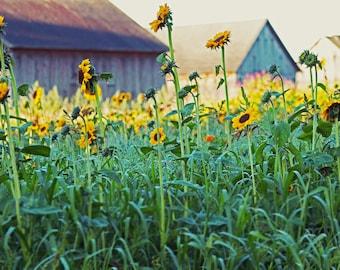 Sunflower field photograph - summer fine art print, yellow, green, gray barns, nature photo, country landscape, rustic new england wall art