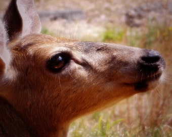 Woodland Photography, Deer, Doe, Forest, Nature Photography, Pacific NW - 8x10 Digital Photo