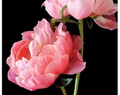 Two Pink Peonies I