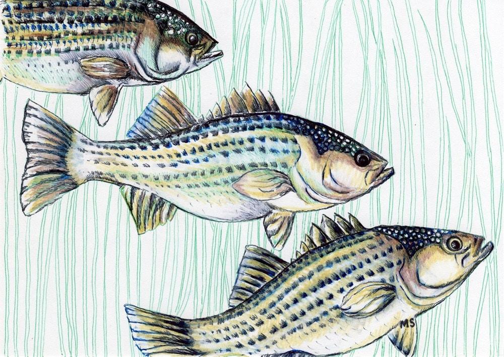 Bass Fish Art Fish Illustration Nautical Art Pen And Ink Print Gift