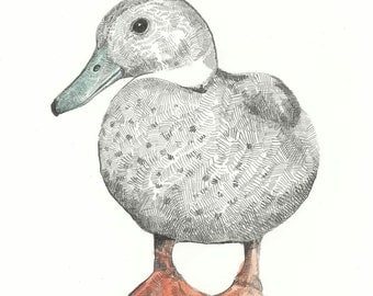 Print - Dabbling Duck - Pencil and watercolour