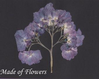 Pressed Flower Art Print Purple Hydrangea on Black