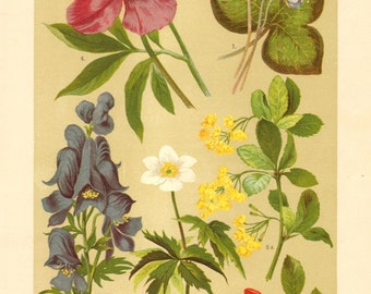 1911 Buttercup and Barberry Family, Common Hepatica, Wood Anemone, Monkshood, European Peony, European Barberry Antique Chromolithograph
