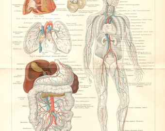 1902 Blood Vessels of the Human Body Antique Anatomical Lithograph