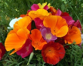 California Poppy Mission Bells Mixed Colors Drought Tolerant Water Wise Easy to Grow Annual Flower Seeds