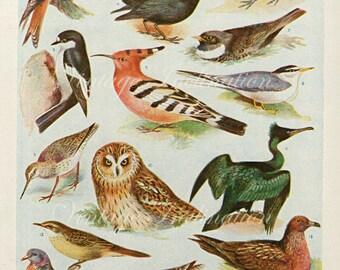 Vintage Bird Print Natural History Antique Illustration Bird feathers owl shag duck tern dove black bird Feathers Gull