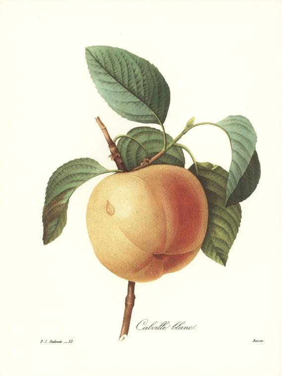Apple Art, Fruit Print, Kitchen Wall Decor (Redoute Botanical Illustration No. 12)